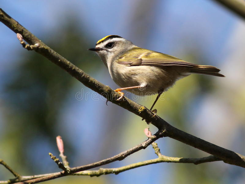 Kinglet D'or-couronné - satrapa de Regulus photos stock