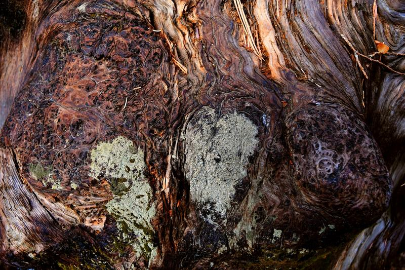 Kings Canyon, California - February 12 2018: Textures on the trunk of an ancient Sequoia tree in Redwood Valley stock images