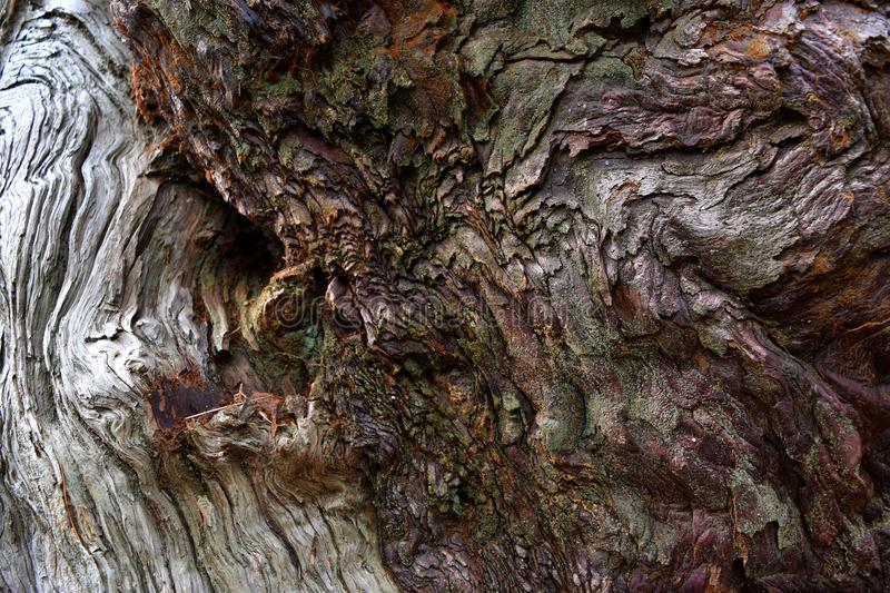 Kings Canyon, California - February 12 2018: Textures on the trunk of an ancient Sequoia tree in Redwood Valley royalty free stock photography