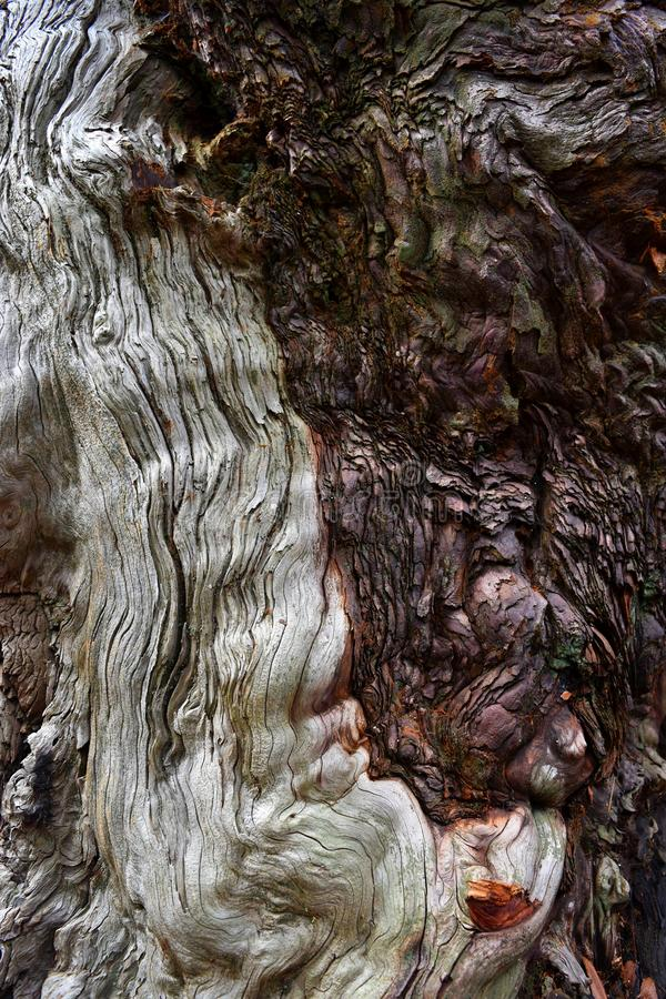 Kings Canyon, California - February 12 2018: Textures on the trunk of an ancient Sequoia tree in Redwood Valley stock photos
