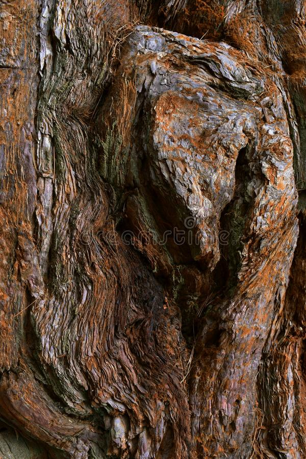 Kings Canyon, California - February 12 2018: Textures on the trunk of an ancient Sequoia tree in Redwood Valley royalty free stock photo