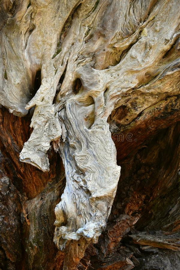 Kings Canyon, California - February 12 2018: Textures on the trunk of an ancient Sequoia tree in Redwood Valley stock photography
