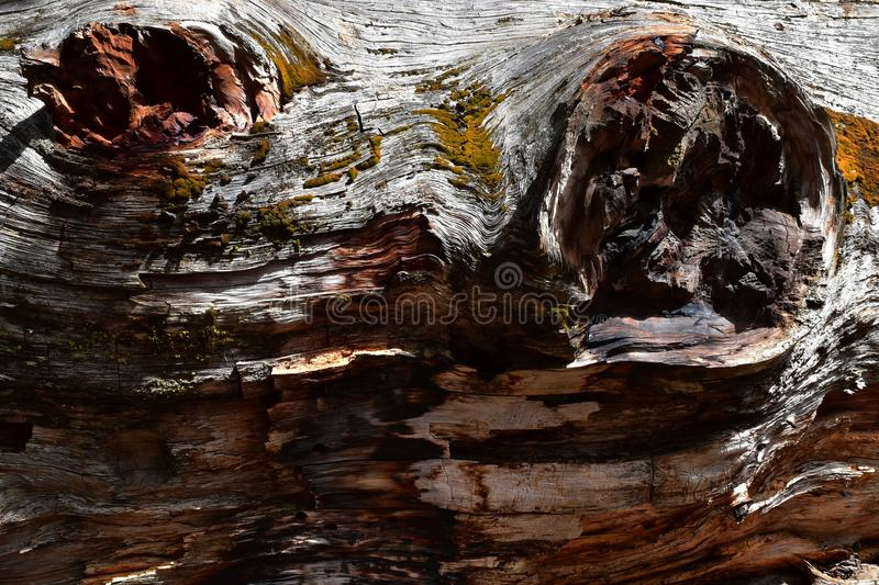 Kings Canyon, California - February 12 2018: Textures on the trunk of an ancient Sequoia tree in Redwood Valley stock photo