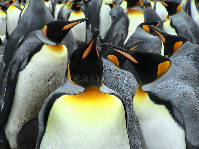 Kings penguins royalty free stock photos