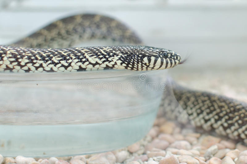 Kingsnake或lampropeltis getula brooksi 库存照片