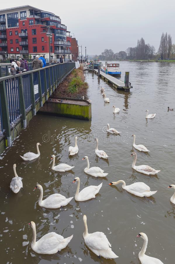 Flock of swans and waterbirds at Riverside Walk promenade by the River Thames in Kingston, England. Kingston upon Thames, United Kingdom - April 2018: Flock of royalty free stock photos