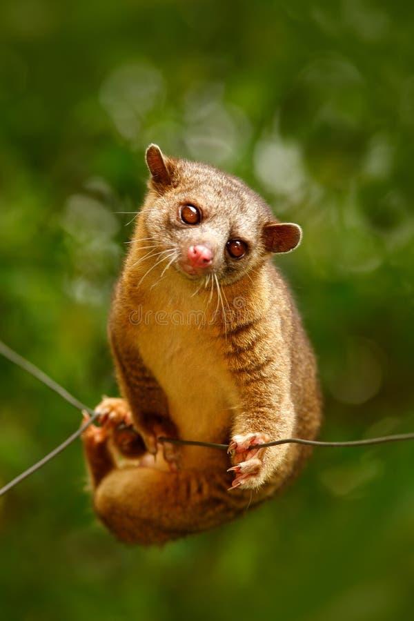 Kinkajou,密熊属flavus,热带动物在自然森林栖所 哺乳动物在哥斯达黎加 从自然的野生生物场面 狂放的Kinkajo 免版税图库摄影