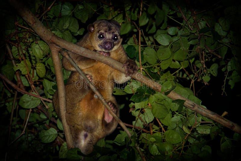 Kinkajou - Potos flavus, θηλαστικό τροπικών δασών της οικογένειας Procyonidae σχετικό με τα olingos, τα coatis, τα ρακούν, και το στοκ εικόνες