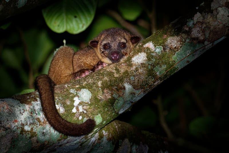 Kinkajou - Potos Flavus, tropikalnego lasu deszczowego rodzinny Procyonidae odnosić sie olingos, coatis, szop pracz i ringtail ss fotografia stock