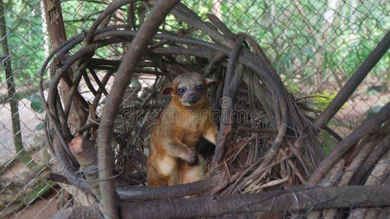 Kinkajou in zijn nest binnen een kooi in Ecuatoriaans Amazonië Gemeenschappelijke namen: Cusumbo, Tuta-kushillu stock afbeeldingen
