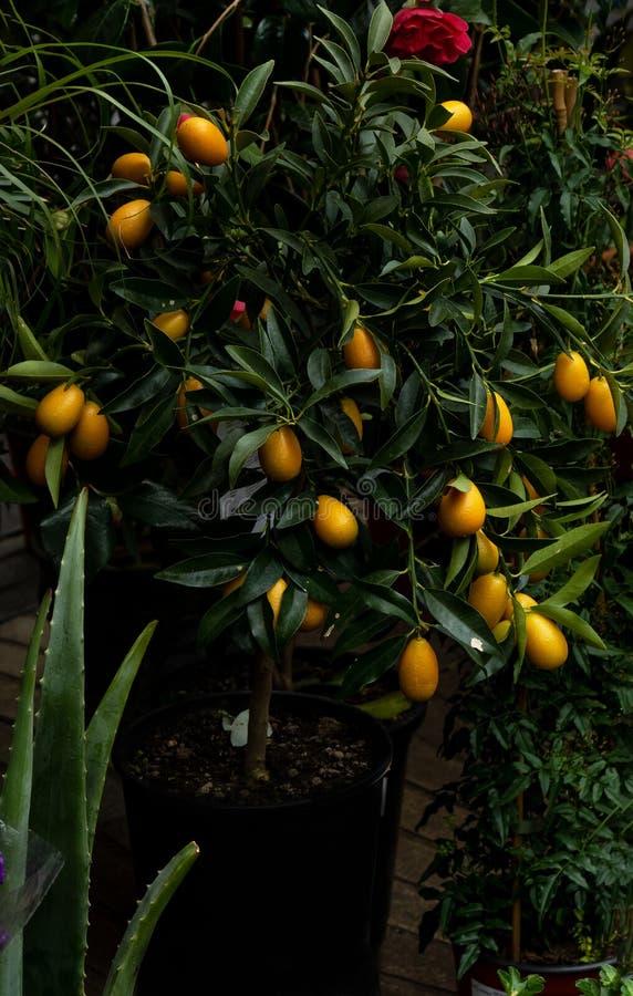 kinkan, kumquat, fortunella na drzewie w kwiatu sklepie fotografia royalty free