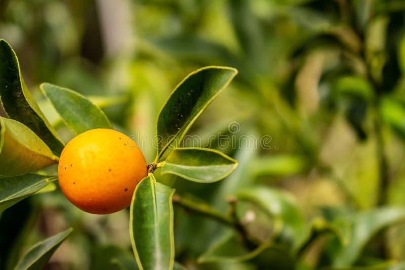 kinotos Baum mit einer reifen orange Frucht stockfoto