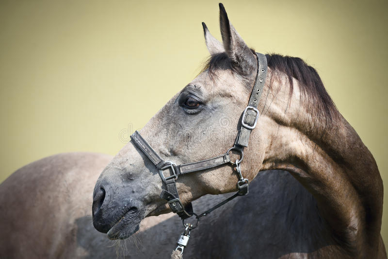 Kinsky mare stock photography