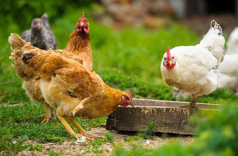Kip bij het landbouwbedrijf