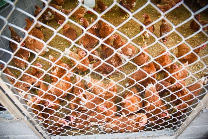 Kip in de kooi stock afbeeldingen