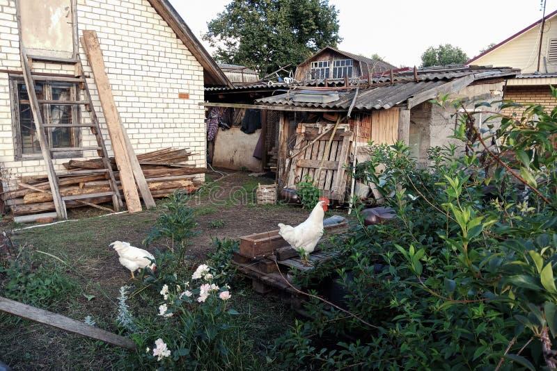 Kip in de oude binnenplaats van het landbouwbedrijf, vogel in de tuin, vogel royalty-vrije stock afbeelding