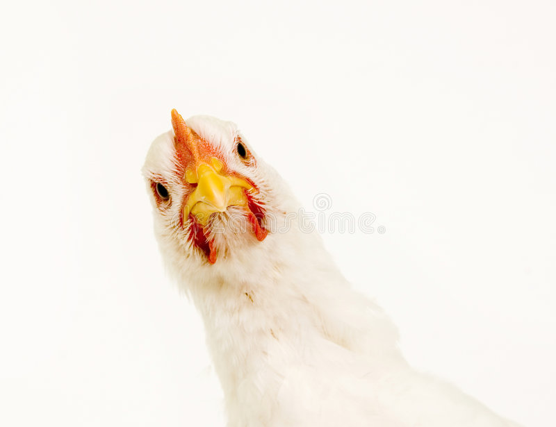 Kip die camera op witte achtergrond bekijkt