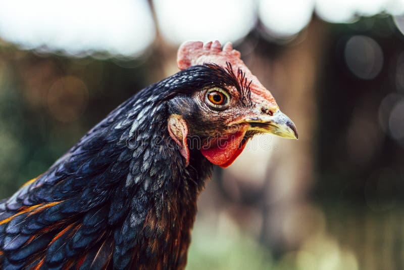 Kip die graan en gras eten royalty-vrije stock afbeeldingen