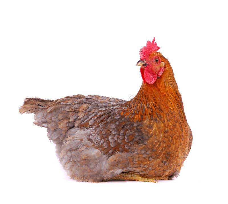 Kip die op wit wordt geïsoleerdt. royalty-vrije stock afbeeldingen