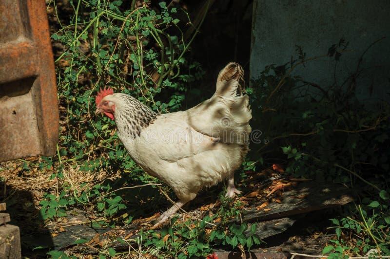 Kip die voedsel in een landbouwbedrijf zoeken stock foto