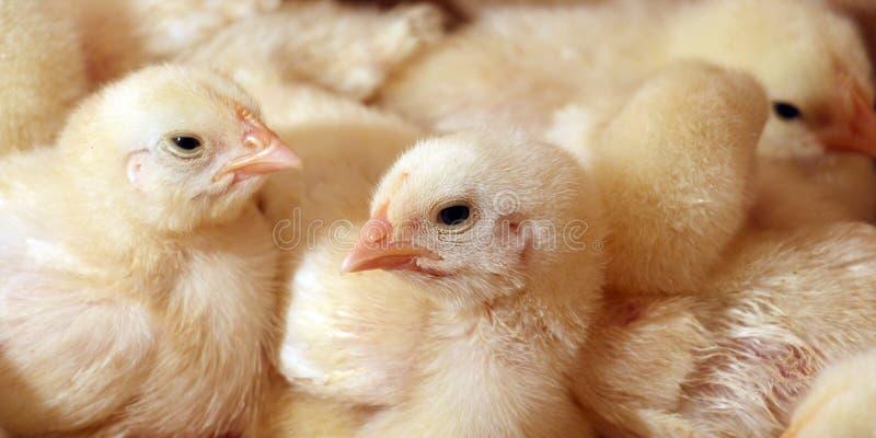 Kip in een kooi royalty-vrije stock afbeelding