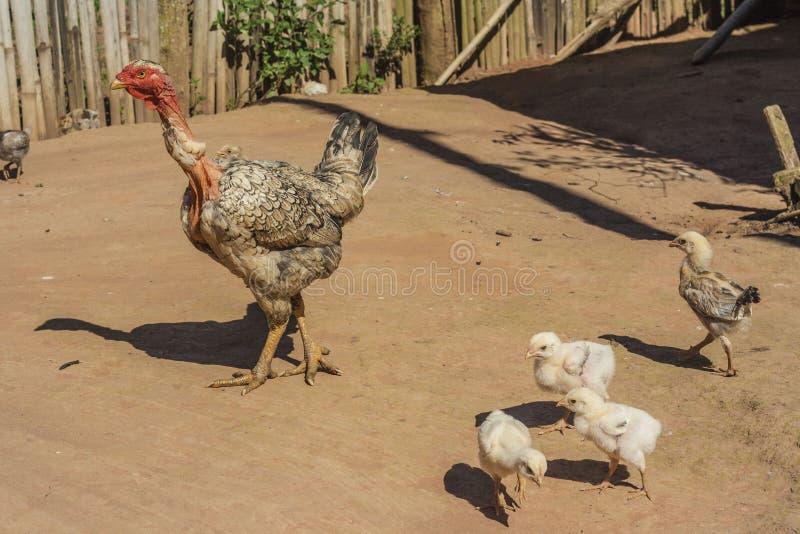 Kip in een landbouwbedrijf stock afbeelding