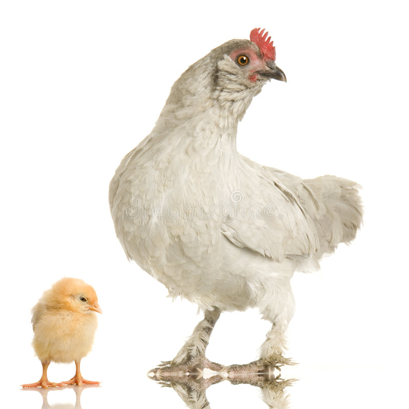 Kip en haar kuiken stock afbeeldingen