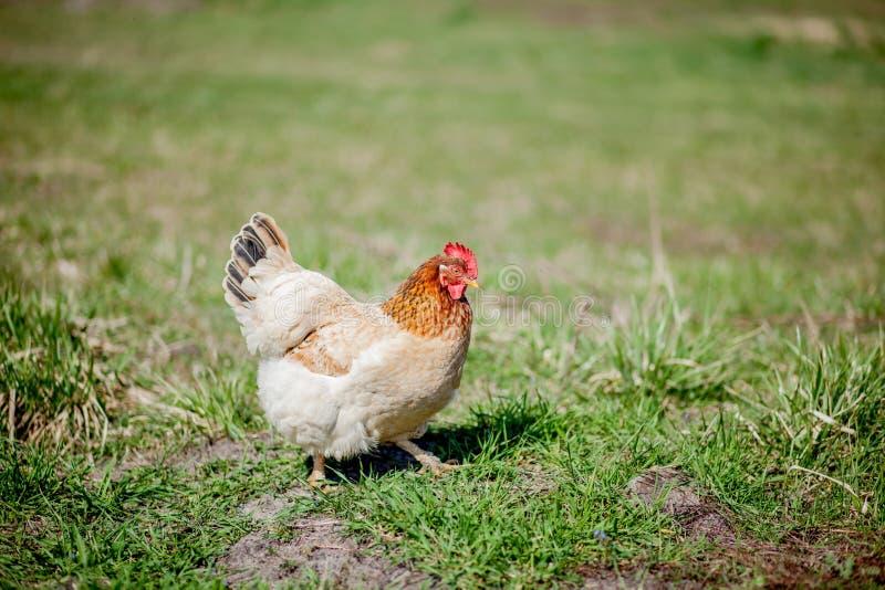 Kip in gras op een landbouwbedrijf Oranje kippenkip die uit voor een gang op het gras is stock afbeelding