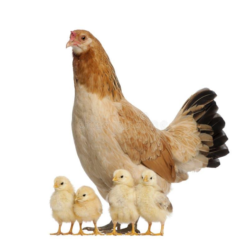 Kip met zijn kuikens royalty-vrije stock fotografie