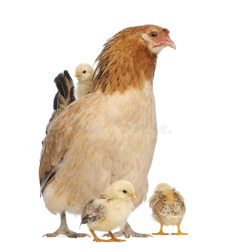 Kip met zijn kuikens rond haar en op zijn rug stock foto