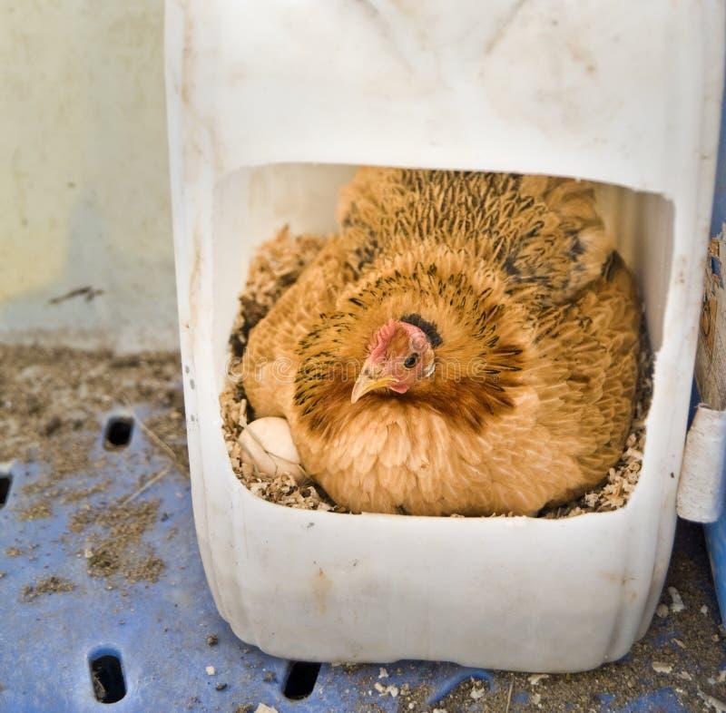 Kip in nest stock afbeeldingen