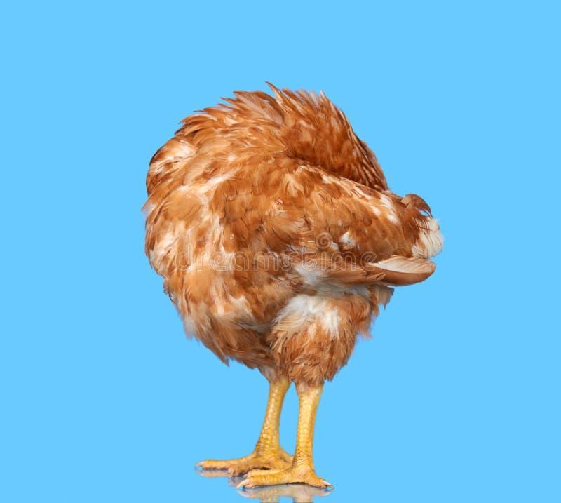 Kip op blauwe geïsoleerde achtergrond, verbergend het hoofd onder de vleugel, één close-updier royalty-vrije stock afbeelding