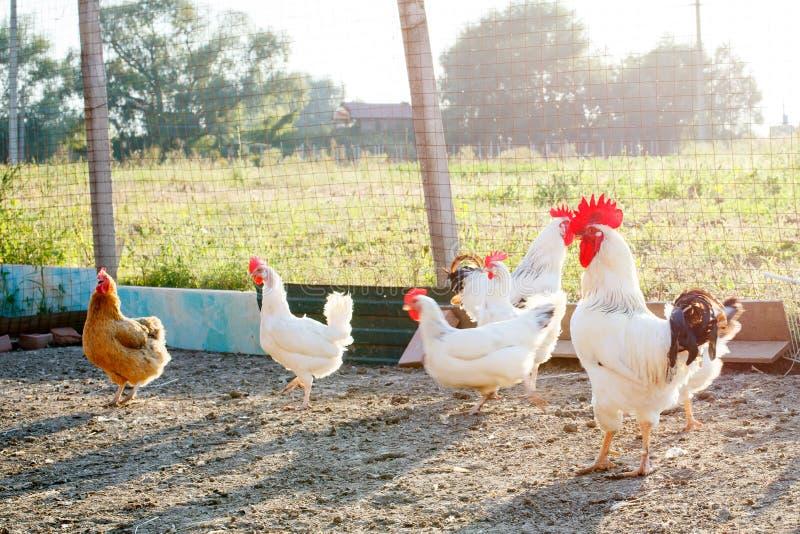 Kip op een gevogeltelandbouwbedrijf royalty-vrije stock foto
