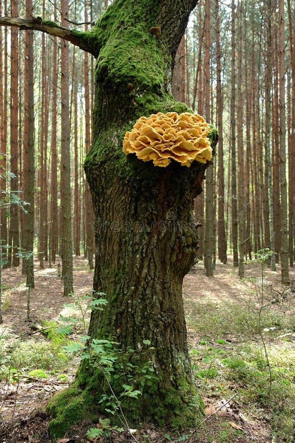 Kip van de houtpaddestoelen stock foto's