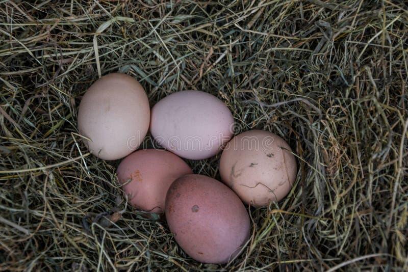 Kippen bioeieren in stro Ruwe eieren in de ochtend op landelijk boerenerf stock foto's