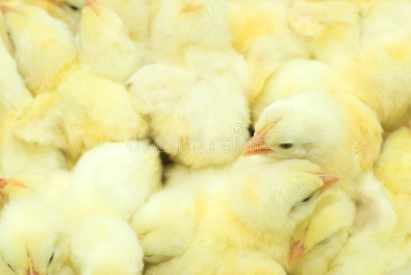 Kippen in de dozen royalty-vrije stock afbeelding
