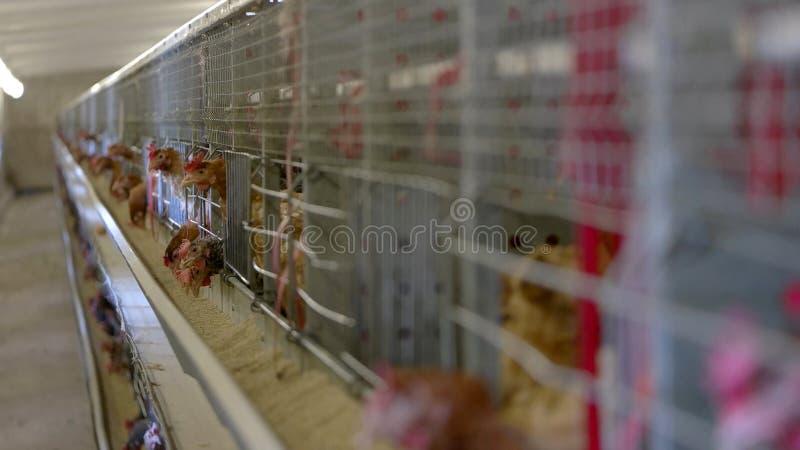 Kippen in de kooien stock foto's