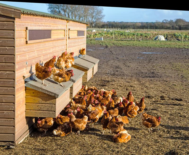 Kippen in de zonneschijn op een kippenhuis royalty-vrije stock foto's