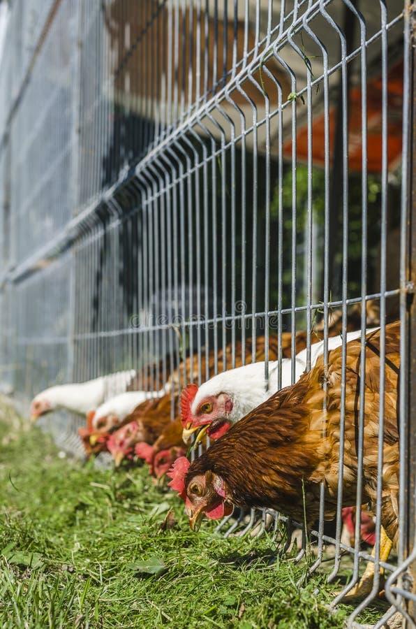 Kippen die gras eten stock fotografie