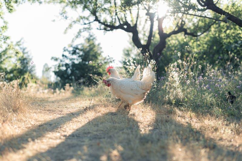 Kippen die op een gebied pikken stock afbeeldingen