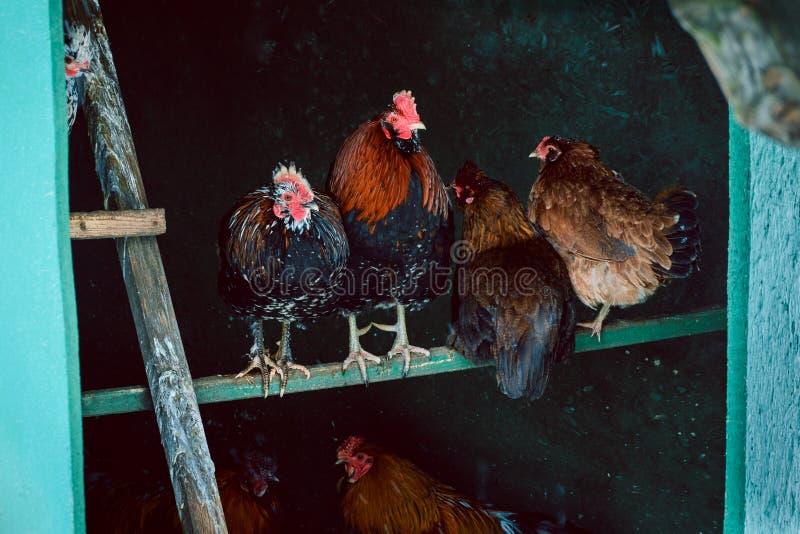 Kippen in een kippenkippenren royalty-vrije stock afbeeldingen