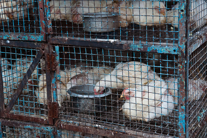 Kippen in een Kooi stock afbeelding