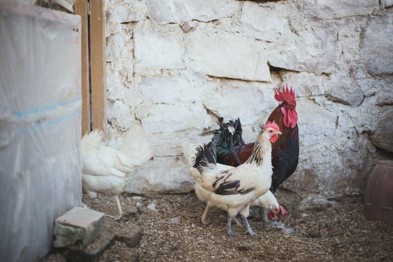 Kippen en hanen stock foto's