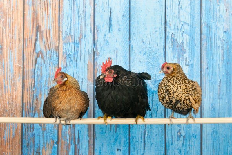 Kippen in kippenhok