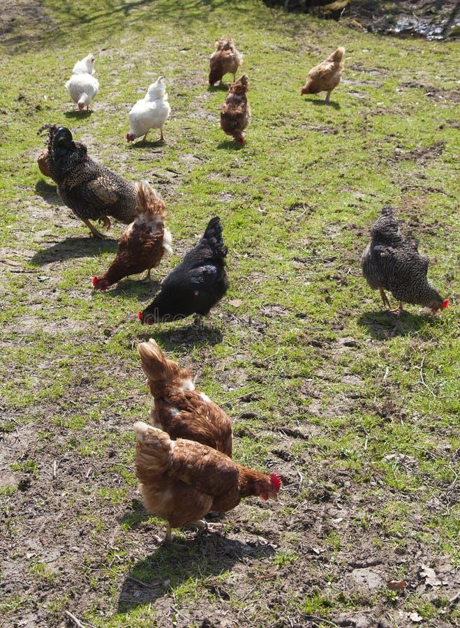Kippen op landbouwbedrijf