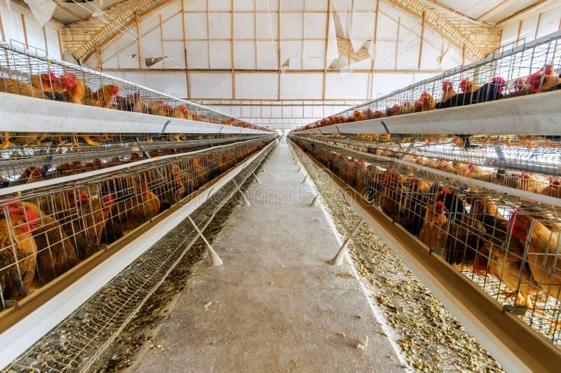 Kippenlandbouwbedrijf stock foto's
