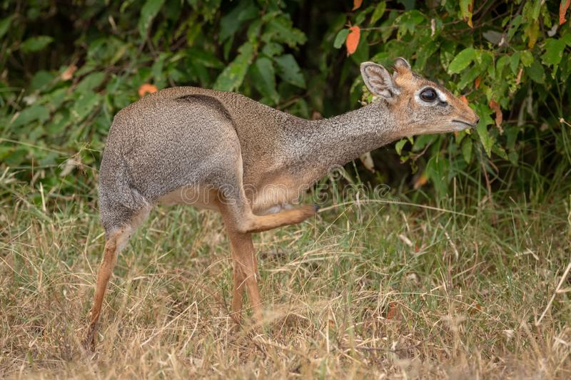 Kirk dik-dik scratches itself with bushes behind royalty free stock image