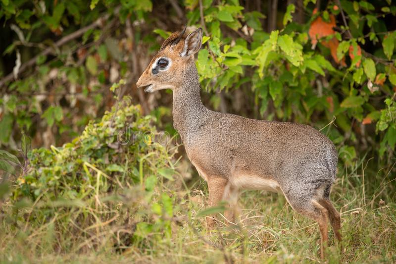 Kirk dik-dik stands in profile in bushes royalty free stock photography