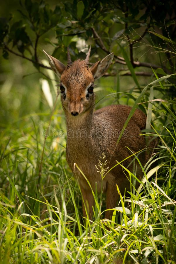 Kirk dik-dik framed by grass and bush. A Kirk`s dik-dik faces the camera from a shady spot in long grass surrounded by bushes. It has a brown coat, two short royalty free stock image