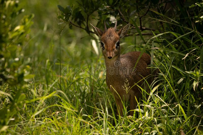 Kirk dik-dik in grass framed by bushes. A Kirk`s dik-dik faces the camera from a shady spot in long grass surrounded by bushes. It has a brown coat, two short royalty free stock image